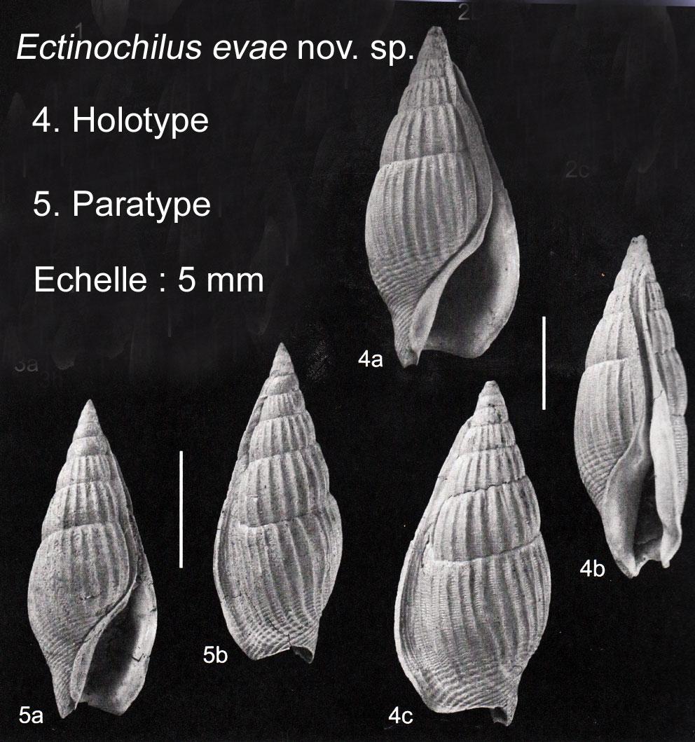 Ectinochilus